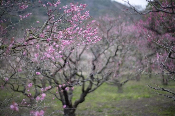 栗林公園の北梅林の梅