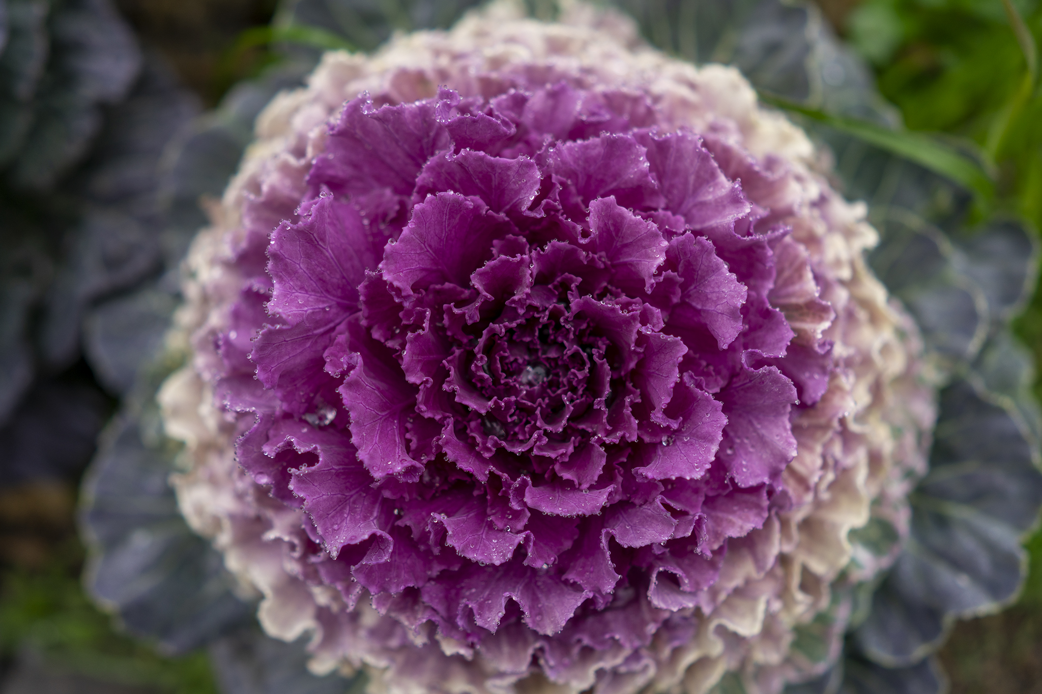 ハボタンの花言葉と誕生花