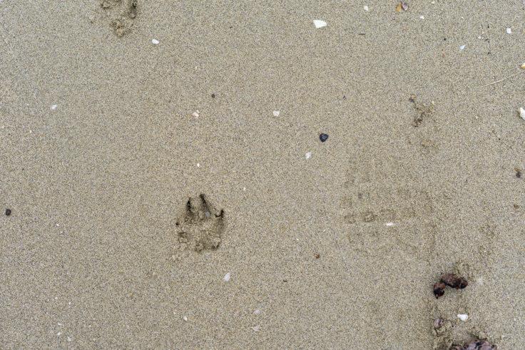 砂浜の犬の足跡