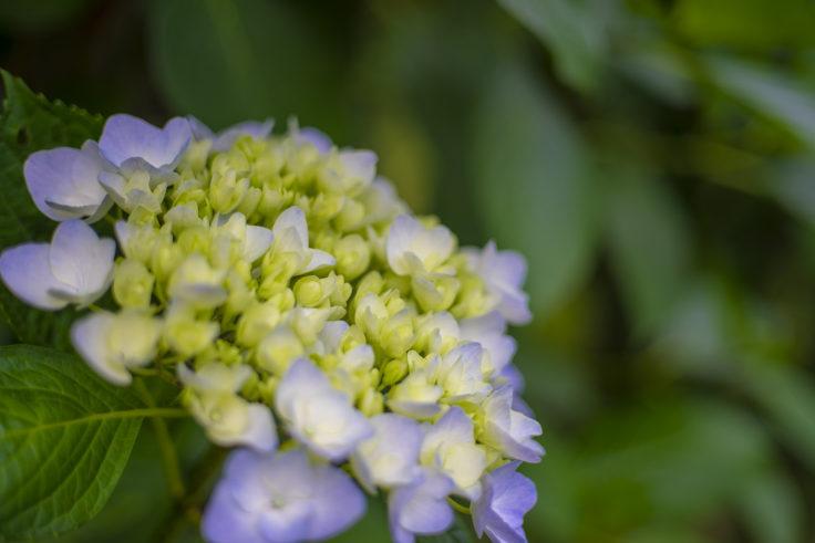 紫雲出山の紫陽花2