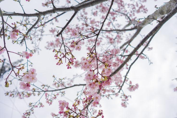 早見悟の桜