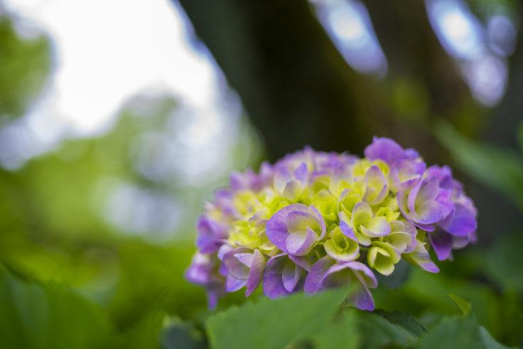 紫雲出山の紫陽花4