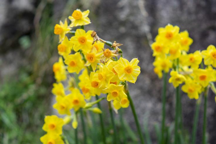 三谷製糖の黄色い水仙
