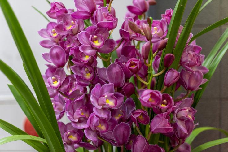 紫のシンビジウム