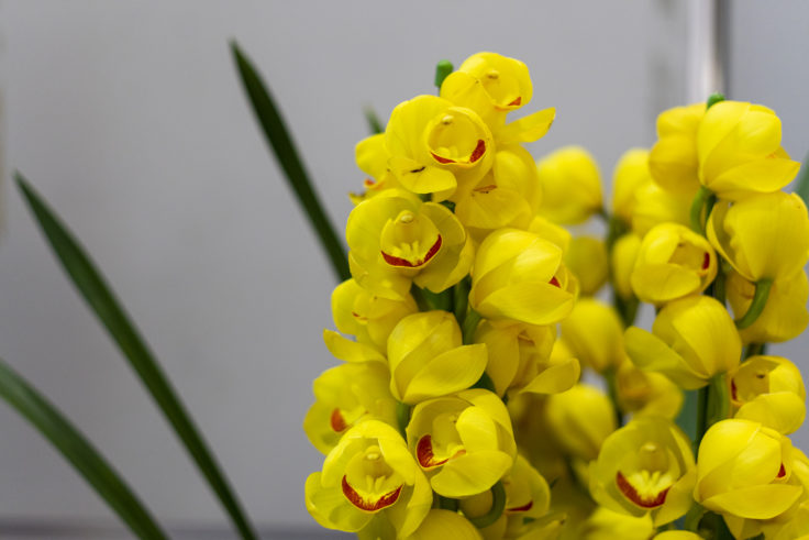 黄色のシンビジウム