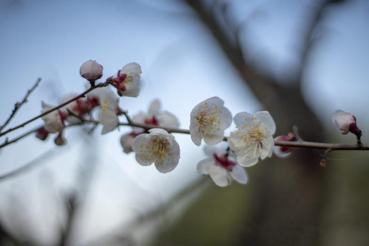 公渕森林公園の梅
