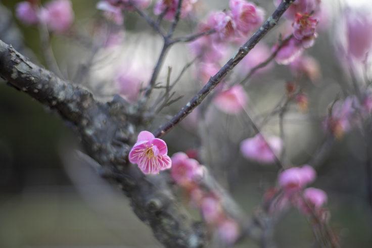 公渕森林公園の紅梅