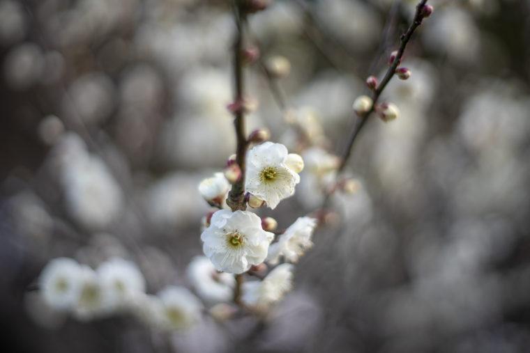 公渕森林公園の白梅