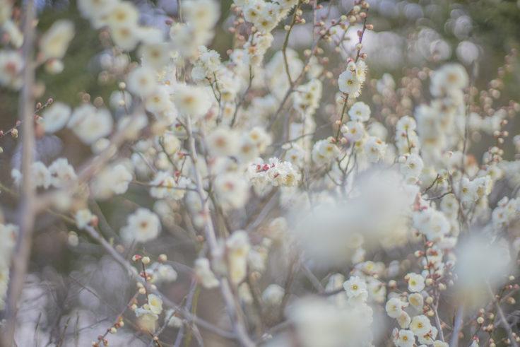 公渕森林公園の咲き誇る白梅