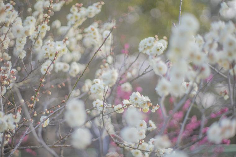 公渕森林公園の咲き誇る白梅2
