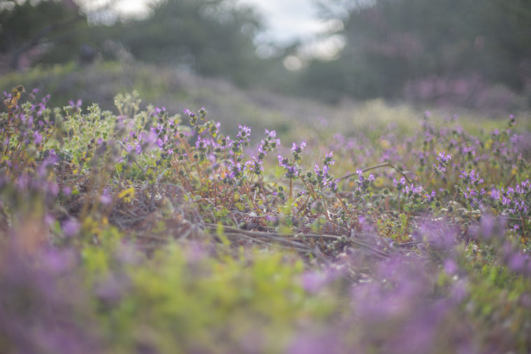 公渕森林公園のホトケノザ