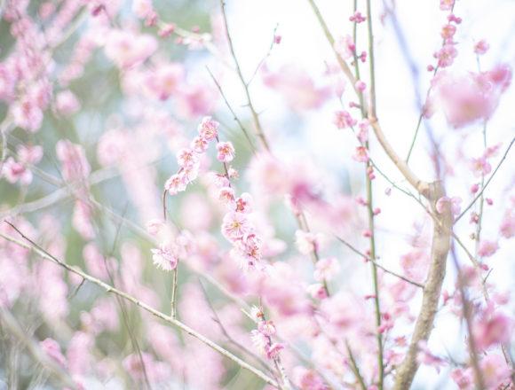公渕森林公園の咲き誇る紅梅2