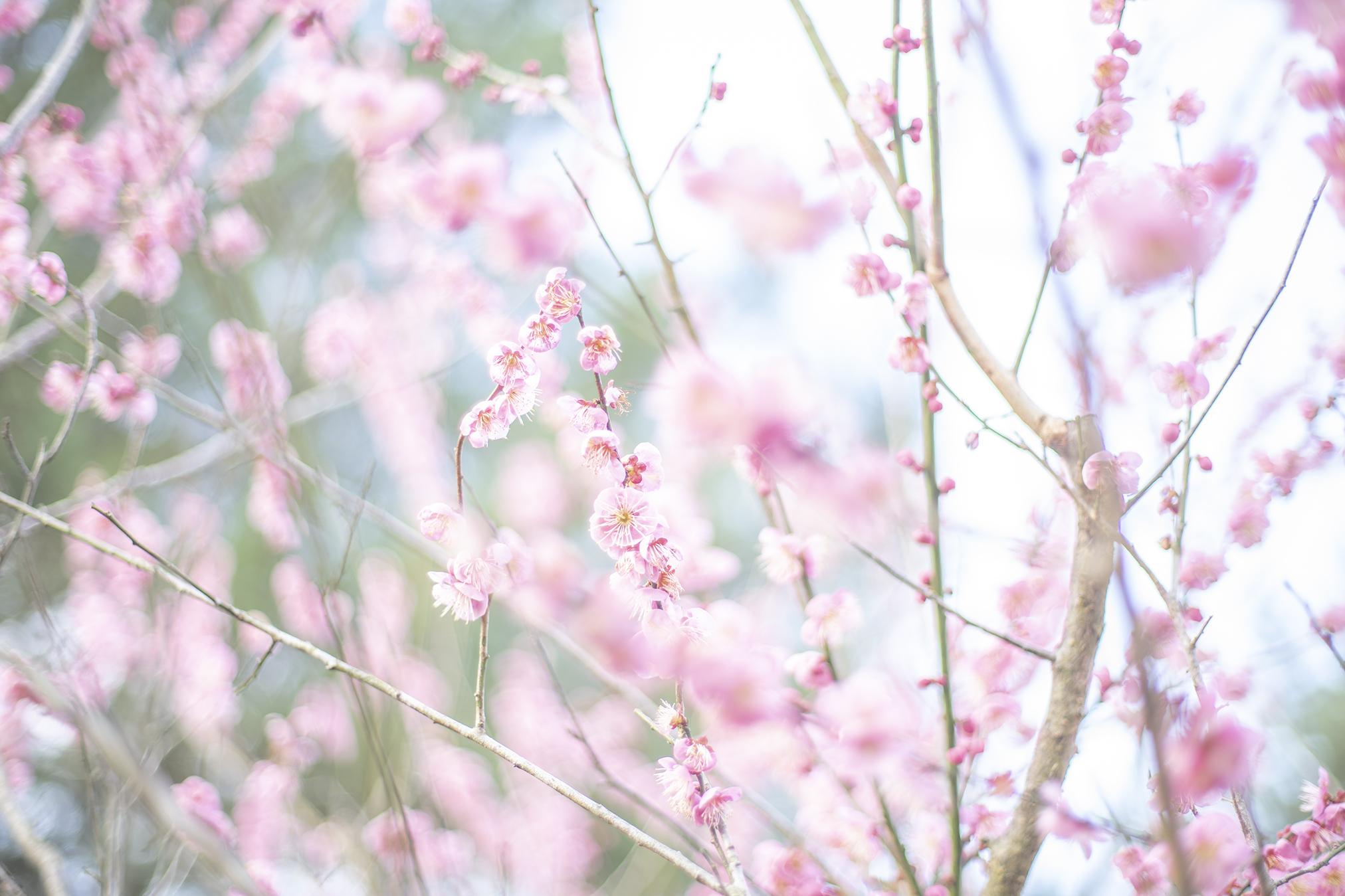 公渕森林公園の梅が枯れてる・・・