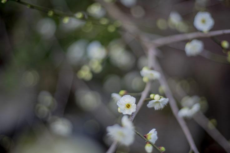 宇佐神社の梅