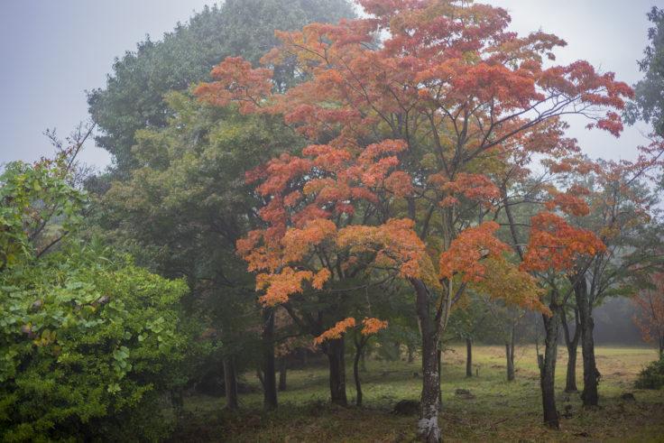 屋島雨の紅葉