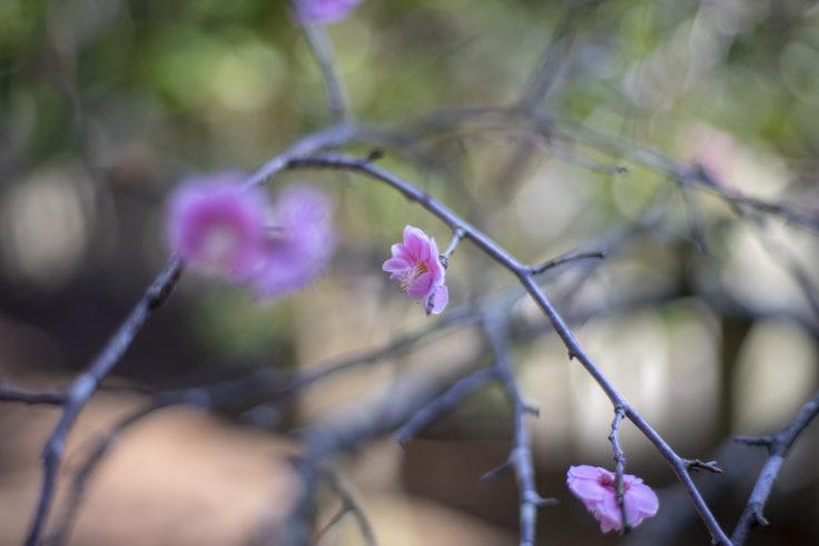 宇佐神社の紅梅