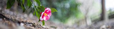 亀鶴公園の椿