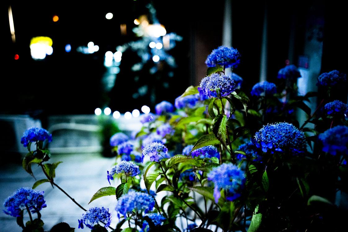 夜のヤマアジサイ