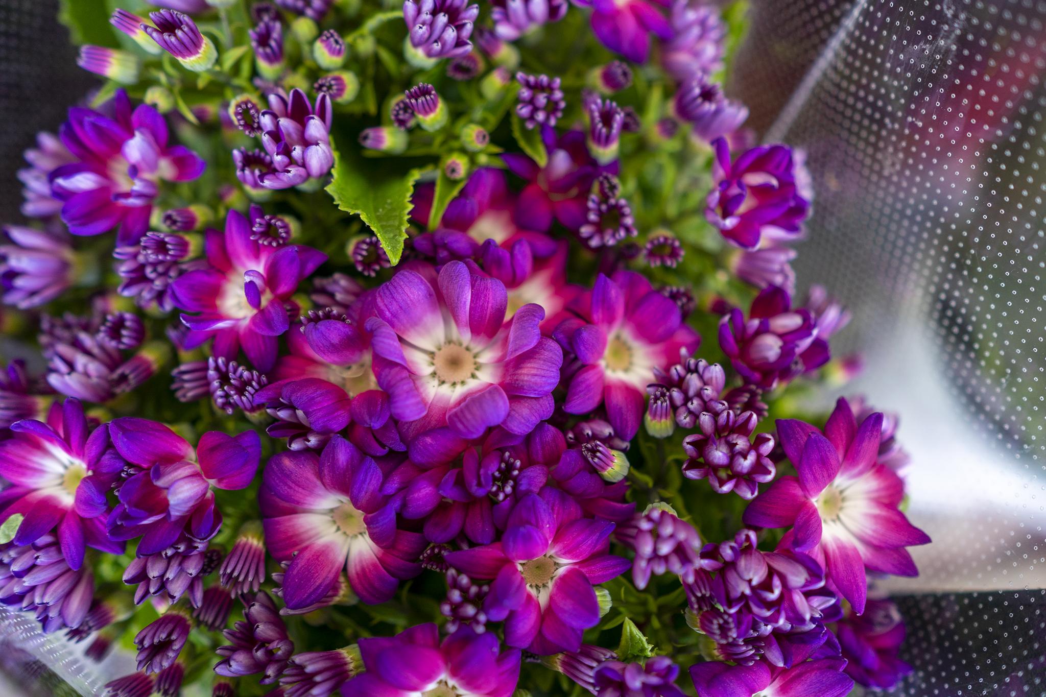 サイネリアの花言葉と誕生花