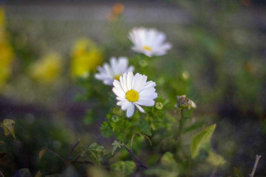 夜の花ノースポール