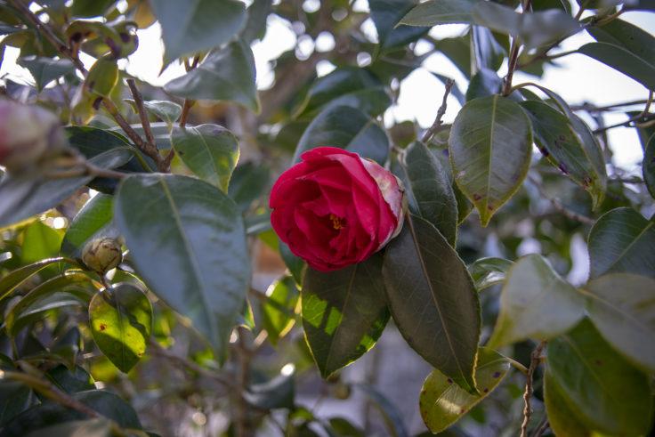 宝光寺の赤い椿