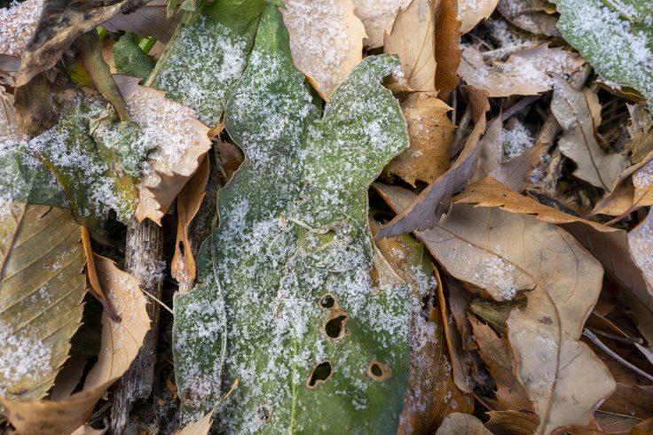 葉っぱに降りた霜