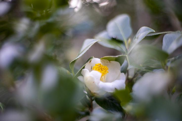 宝光寺の白椿