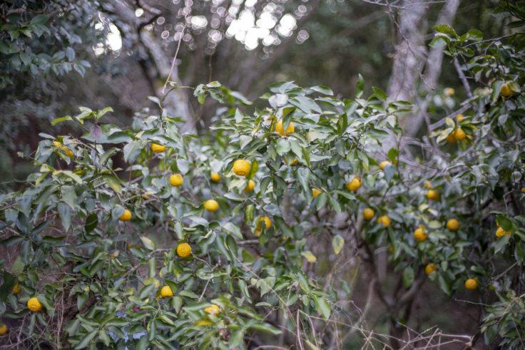 宝光寺の柚子