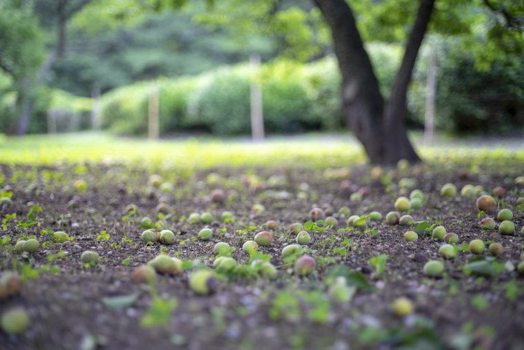百花園跡の梅の実