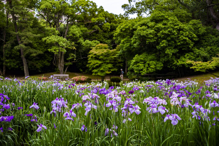 栗林公園の花菖蒲2