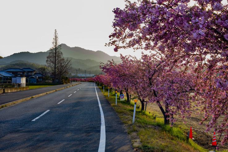 白鳥町河津桜並木