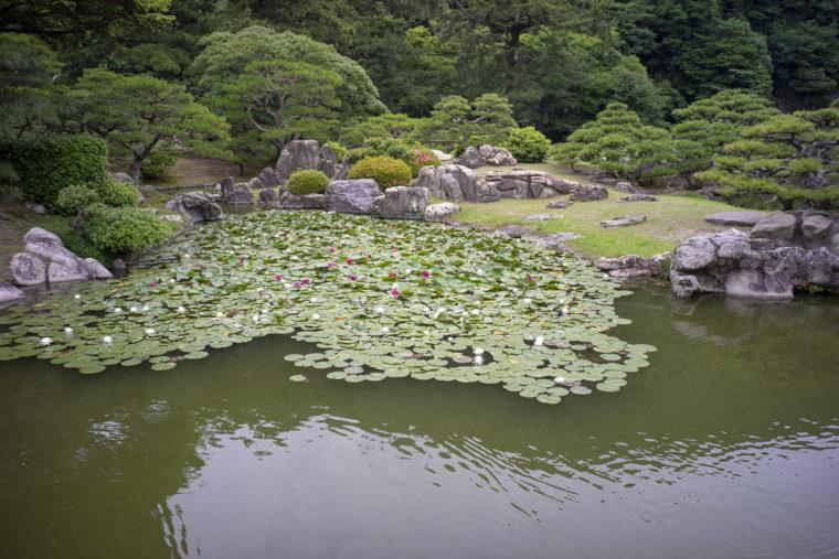 涵翠池のスイレン