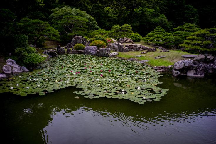 栗林公園の涵翠池に咲いた睡蓮3