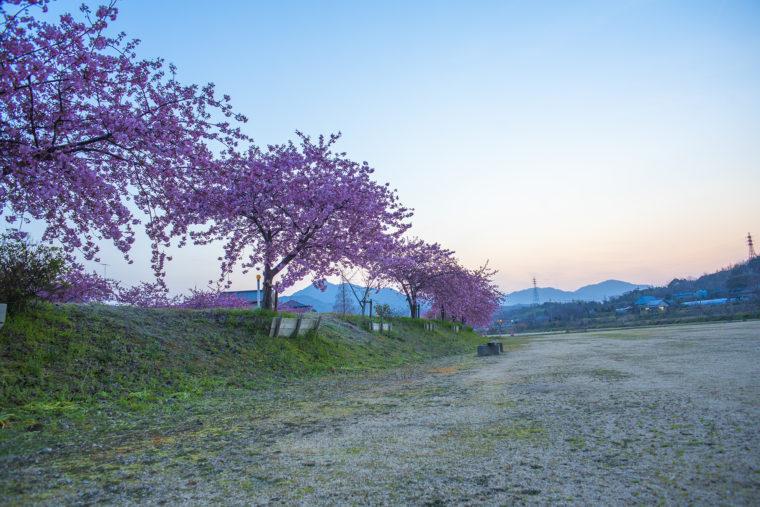 白鳥町河津桜
