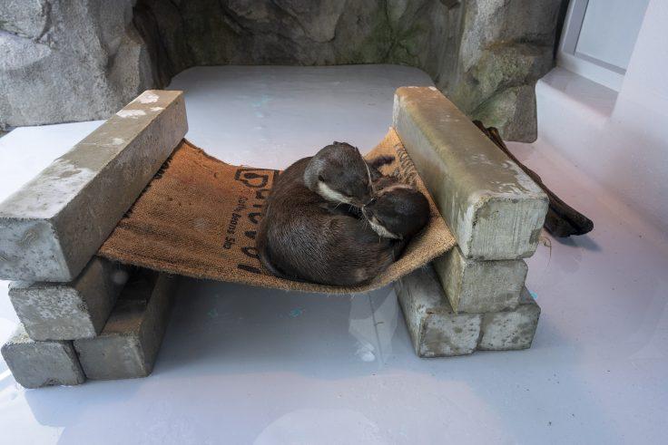 四国水族館のカワウソ