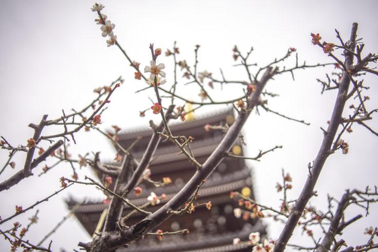 法然寺の梅