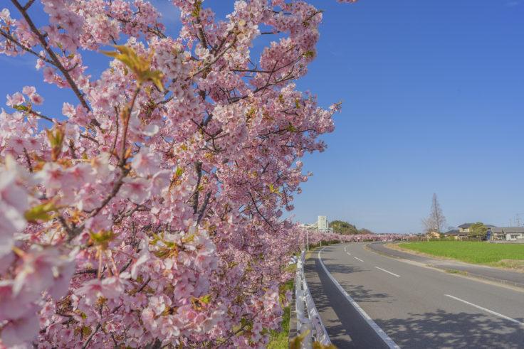 白鳥町河津桜全景