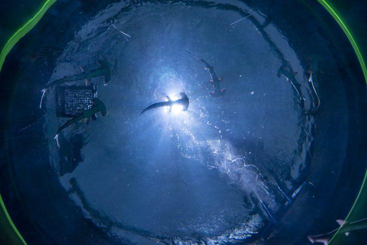 四国水族館のシュモクザメ