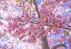 白鳥町河津桜のツボミ2