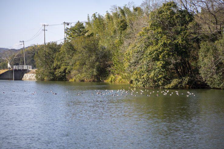 さぬき市大井新池の水鳥