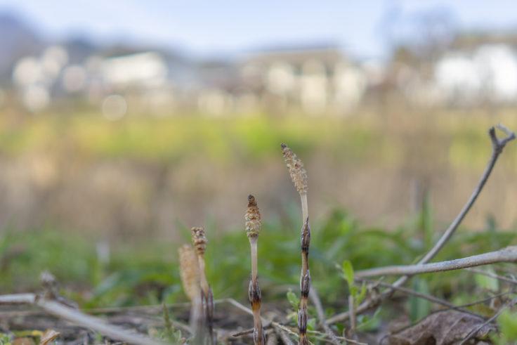 綾川町の水仙ロードのツクシ
