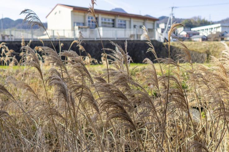 綾川町の水仙ロードのススキ