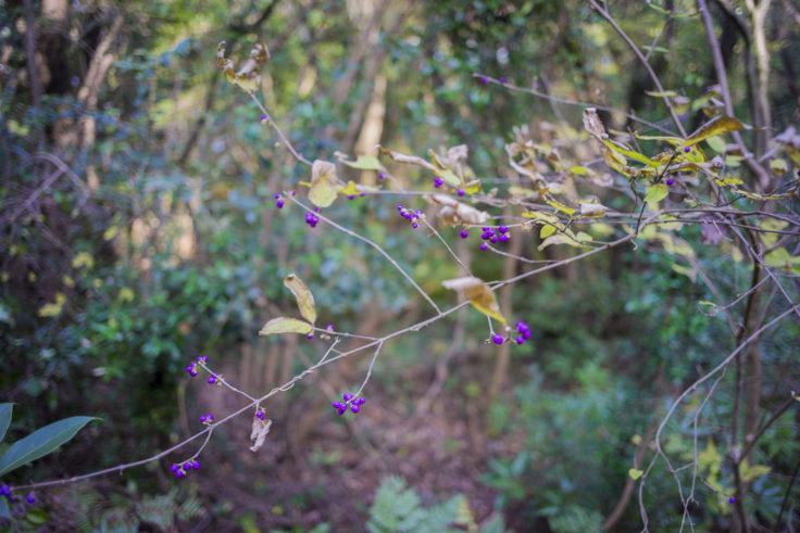 日峯大神子広域公園散策コースの紫式部