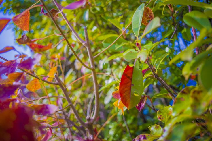 赤緑2色の葉っぱ