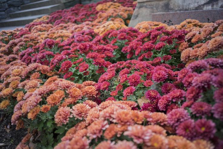 徳島中央公園の菊