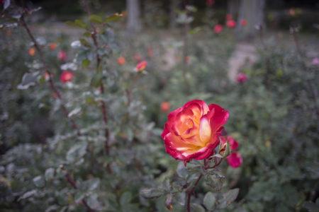 徳島中央公園の赤いバラ