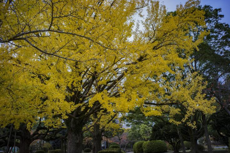 徳島中央公園の銀杏