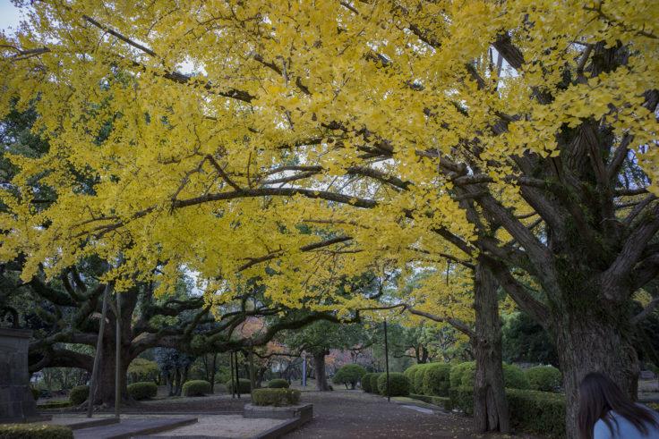 徳島中央公園の銀杏2