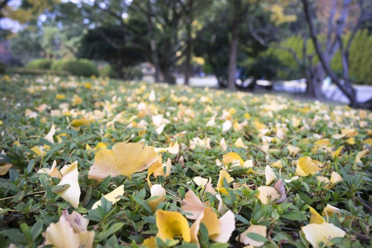 徳島中央公園の銀杏落葉