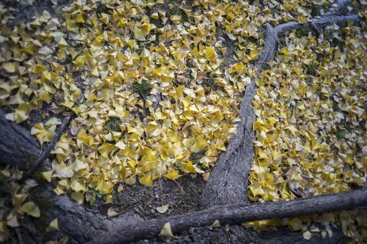 徳島市中央公園銀杏の落ち葉